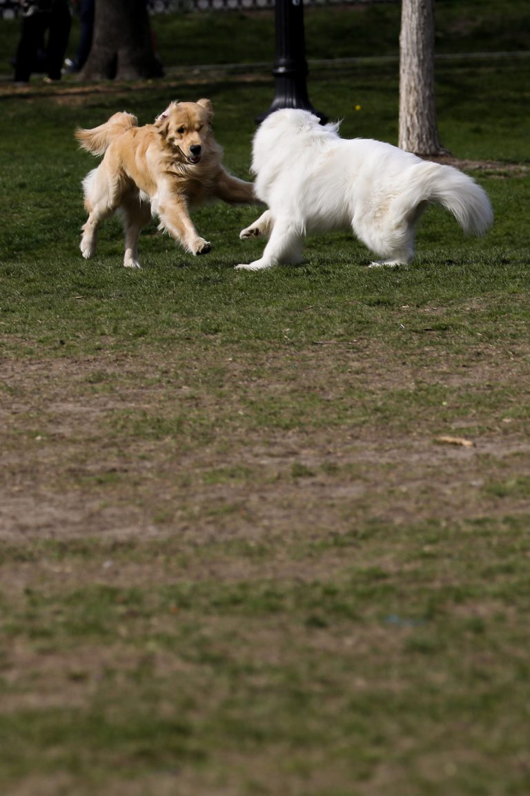Dogs playing together on the Boston Common.