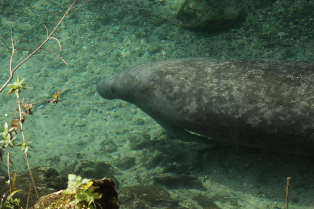 A large manatee floating by in Crystal River.