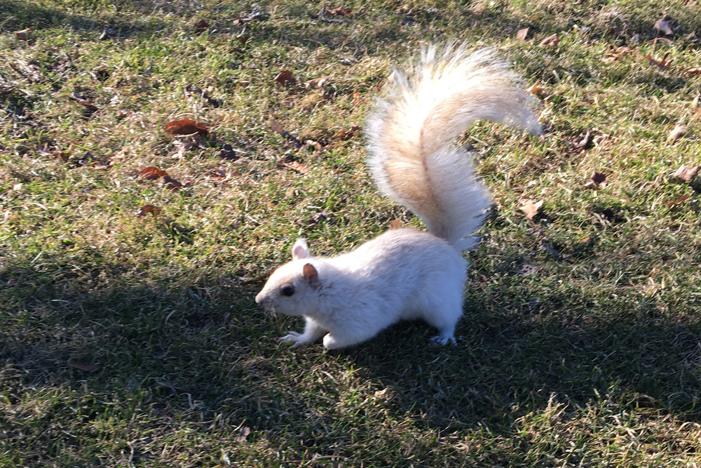 A white squirrel in the common