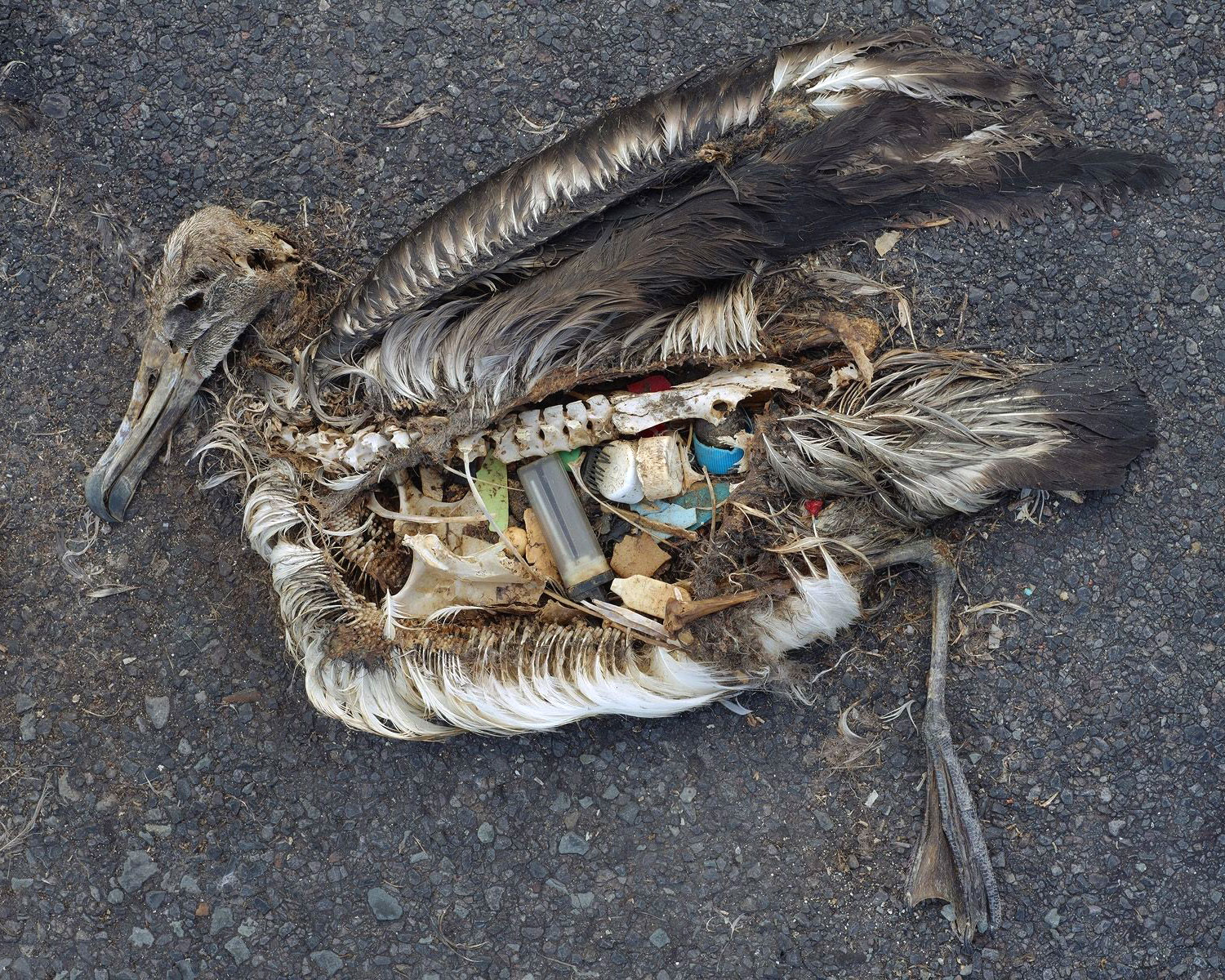 Deab Albatross filled with random trash he had eaten
