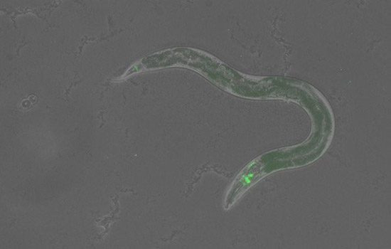 Enlargement of microscopic worm with green fluorescent overlay showing where the protein is located