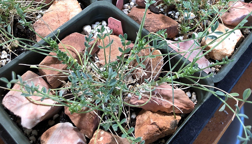 Snall plant in nursery container has small leaves along sprawling stems