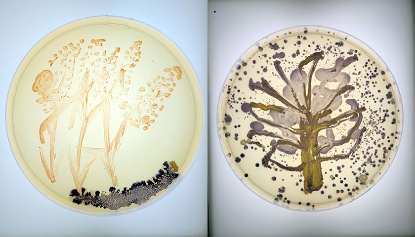 Completed bacteria art shows wheat plants on one and a tree on the other